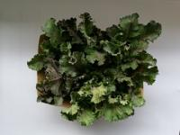 Flower Sprouts-Kalettes